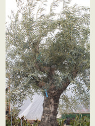 Ancient Olive Tree  1905750A