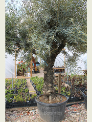 Ancient Olive Tree 1905750C