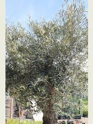 Ancient Olive Tree  1905650C