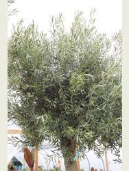 Ancient Olive Tree 1905650E