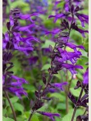 Salvia 'Amistad' AGM