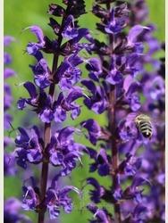 Salvia x sylvestris 'Mainacht' AGM